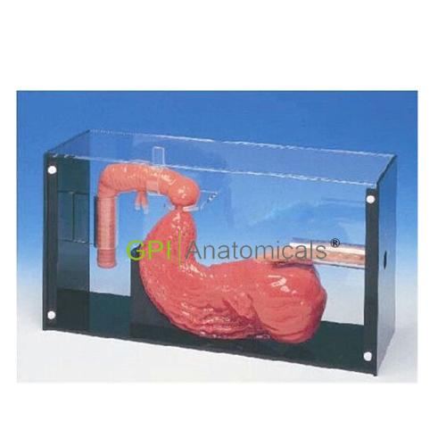 GPI/C1018胃镜及ERCP训练模型