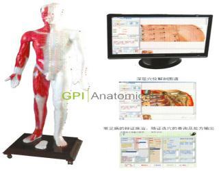 四川GPI/MAW-170E光电感应多媒体人体针灸穴位发光模型