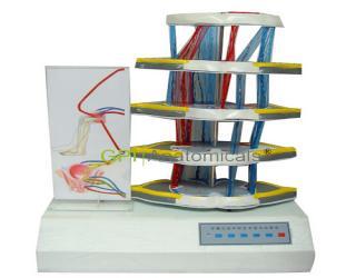GPI//A18225脊髓反射和损伤表现电动模型