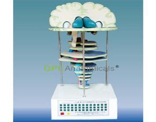 GPI/A18221脑、脑干水平切和脑神经核立体关系电动模型