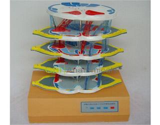 GPI/A18222脊髓的内部结构和上、下行纤维电动模型