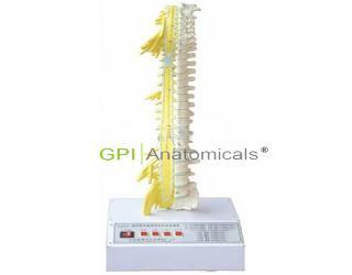 GPI/A18222/1脊柱骨与脊神经关系电动模型