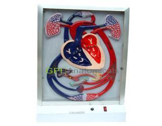 GPI/A16004心脏搏动与血液循环电动模型