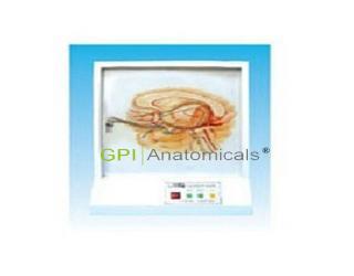 GPI/A17210嗅觉传导通路电动模型