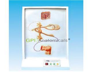 GPI/A17212交感神经纤维走动电动模型