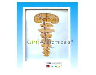 GPI/A17213一般内脏感觉传导通路电动模型