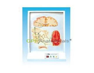 GPI/A17214味觉传导通路电动模型