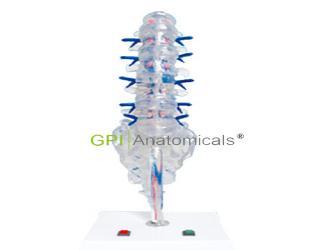 GPI/A18228腰骶椎椎间盘和脊神经电动模型