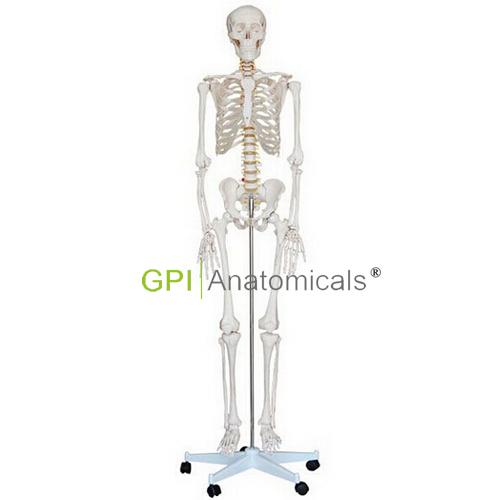 GPI/A11101/1男性全身骨骼模型