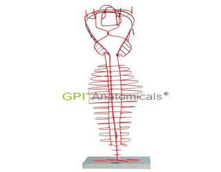 GPI/A50028背主动脉的演变模型