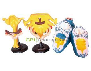 GPI/A50051咽囊衍生物模型