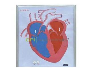 GPI/A16028心脏收缩、舒张与瓣膜开闭演示模型