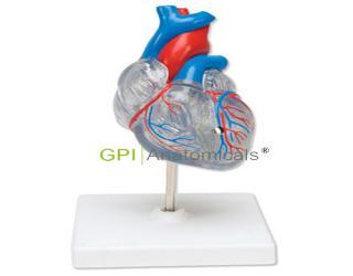 GPI/A16026透明心脏模型