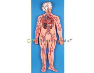 GPI/A16001全身血液循环模型