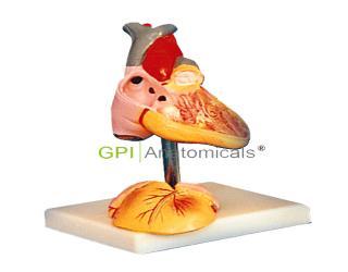 GPI/A16008儿童心脏解剖放大模型