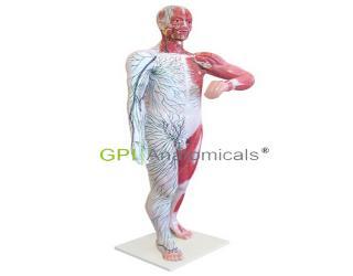 GPI/A16008人体浅层淋巴和浅静脉分布