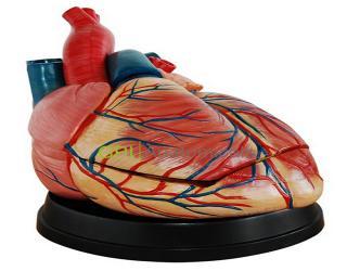 GPI/A16004新型大心脏解剖模型