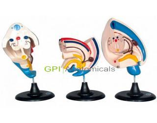 GPI/A14009泌尿系统发生模型(3部件)