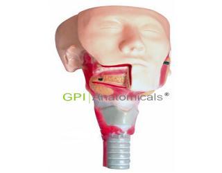 GPI/A13514唾液腺及咽肌解剖模型