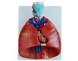 GPI/A13012喉、心、肺模型