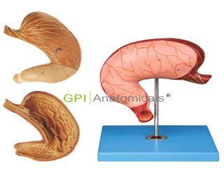 GPI/A12002胃解剖、胃及剖面模型
