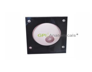 GPI/A6629单侧乳房护理模型