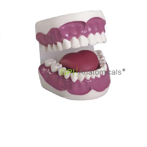 GPI/K2牙护理保健模型(28颗牙,放大3倍)