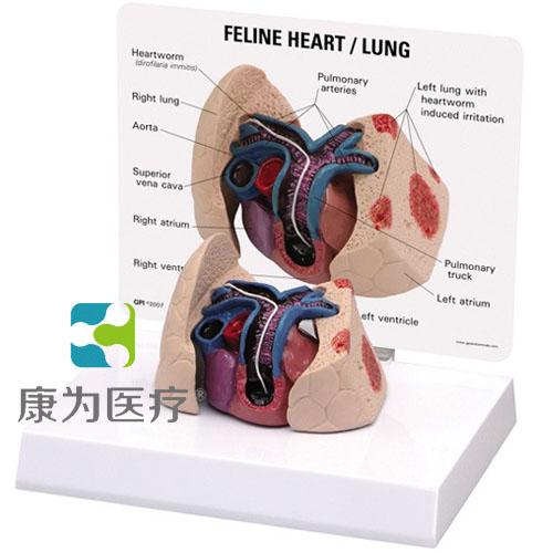 GPIANTOMICALS 猫心、肺放大模型
