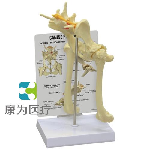 GPIANTOMICALS 正常犬狗骨盆模型